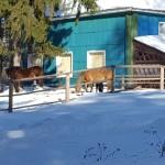 На солнце греют лошади бока и сено зимнее уж отдаёт весною...
